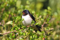 Barn Swallow. Photographed near Cape Town, South Africa Stock Photo