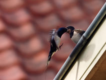 Barn Swallow. (Hirundo rustica) feeding chick in roof gutter Royalty Free Stock Images