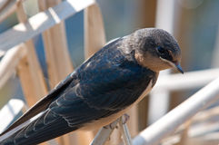Barn Swallow. Photograph of a Barn Swallow perched on a cattail near its nesting site beneath a bridge at a vast Wisconsin Wildlife Refuge Royalty Free Stock Photo