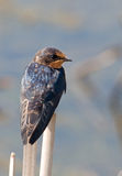 Barn Swallow. Photograph of a Barn Swallow perched on the tip of a cattail near its nesting site beneath a wetland bridge Stock Photos