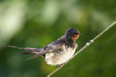 Barn Swallow. On a wire Stock Images