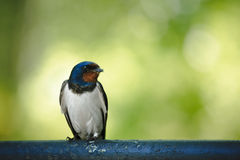 Barn Swallow. (Hirundo rustica) sitting on metal tube stock photography
