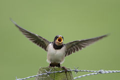 Barn Swallow. Calls for food Royalty Free Stock Photo