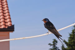 Barn Swallow Stock Image