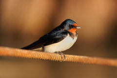 Barn Swallow. Sitting on a white in summertime Stock Photo