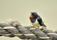 Barn Swallow. Closeup of barn swallow on piece of rope Royalty Free Stock Photos