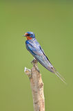 Barn Swallow. Bird on nature Royalty Free Stock Photography