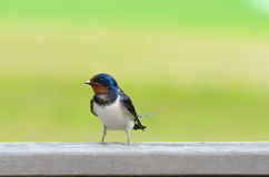 Barn Swallow. A barn swallow (Hirundo rustica) sitting on a plank Stock Photography