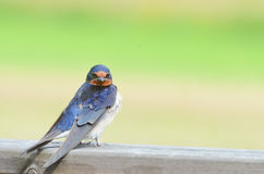 Barn Swallow. A barn swallow (Hirundo rustica) sitting on a plank Royalty Free Stock Photos