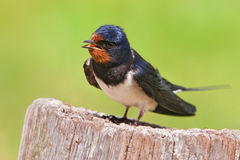 Barn swallow. A barn swallow in front of a green meadow Stock Photography