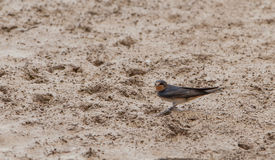 Barn Swallow Royalty Free Stock Images