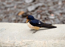 Barn Swallow. Juvenile barn swallow on a concrete curb Royalty Free Stock Photography