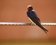 Barn swallow Stock Photo