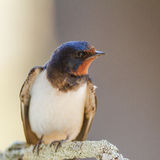 Barn swallow. Close-up in extremadura spain Royalty Free Stock Photos
