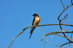Barn Swallow. Sitting on tree branch Royalty Free Stock Photo