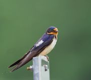 Barn Swallow. (hirundo rustica) perched on a sign Royalty Free Stock Photography