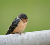 Barn Swallow. Juvenile barn swallow perched on a metal fence Royalty Free Stock Image