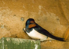 Barn Swallow Royalty Free Stock Photo