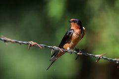 Barn Swallow on Barb Wire Stock Photography