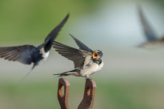 Barn Swallow Stock Photos