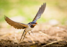 Barn swallow bird. A Barn Swallow bird in flight after collecting twig to build nest Royalty Free Stock Photo