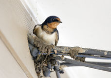 Barn Swallow bird on mud nest under roof. Barn Swallow, Hirundo rustica, perched on telephone wire with mud in beak to build a nest. North American Swallow Stock Photos