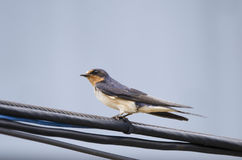 Barn Swallow bird perched on telephone wire Stock Image