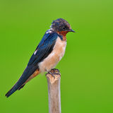 Barn swallow bird Royalty Free Stock Image