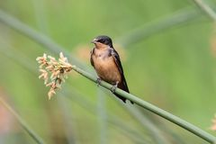 Barn Swallow on a branch Stock Images
