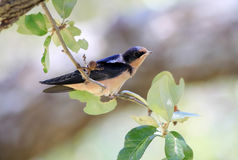 Barn Swallow on Branch Royalty Free Stock Photography