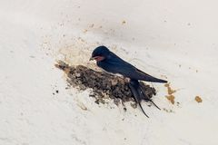 Barn swallow building nest Royalty Free Stock Images