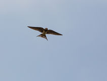 Barn Swallow caught in flight Stock Photography