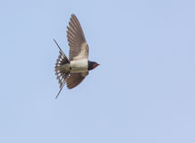 Barn Swallow caught in flight Royalty Free Stock Images