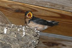 Barn Swallow Chicks Hirundo rustica on nest. Stock Photo
