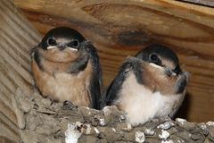 Barn Swallow Chicks Hirundo rustica on nest. Royalty Free Stock Photo