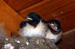 Barn Swallow Chicks 3. Juvenile Barn Swallows in nest Stock Photos