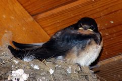 Barn Swallow Chicks 2. Barn Swallow chicks in nest Royalty Free Stock Photography