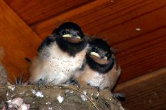 Barn Swallow Chicks 1. Barn Swallow Chicks in nest with ticks Stock Image