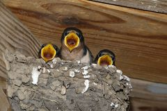 Barn Swallow Chicks Hirundo rustica on nest. Stock Image