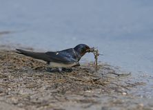 Barn Swallow collects on the river bank building material for a future nest. Close up and detailed photo Stock Images