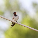 Barn swallow on electric wire Stock Photography