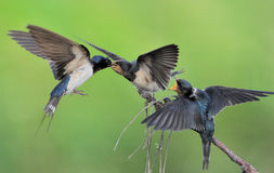 Barn Swallow family Stock Image