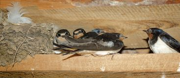 Barn Swallow family near the nest Royalty Free Stock Images