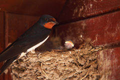 Barn Swallow feeding chicks. In the nest Stock Photography