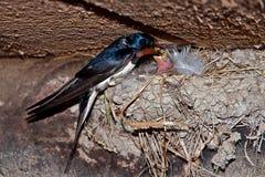 Barn Swallow feeding chicks Stock Photo