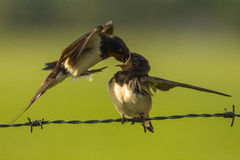 Barn swallow feeding Royalty Free Stock Image