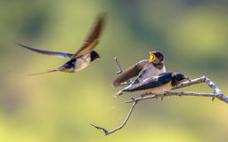 Barn swallow feeding juveniles Stock Photo