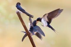 Barn swallow feeding their chicks scenes. stock image