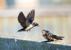 Barn Swallow Feeding Time Stock Photos