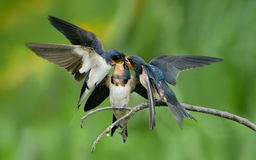 Barn Swallow feeding youngsters Stock Photos
